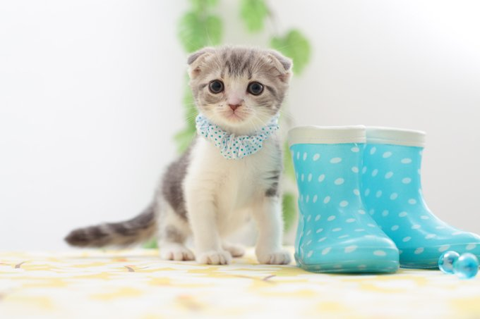 20 Fun Facts You Didn't Know about Scottish Fold Cats