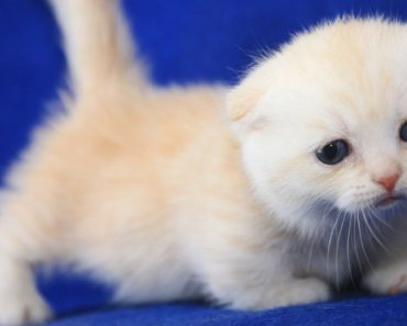 Five Things You Didn't Know about the Scottish Fold Munchkin