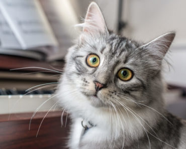 20 Fun Facts You Didn't Know about Siberian Cats