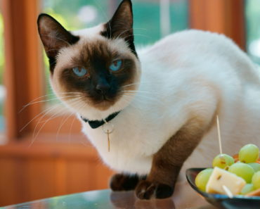 What Exactly is a Snowshoe Siamese Cat?