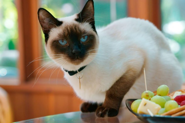 what exactly is a snowshoe siamese cat