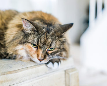 What is Feline Herpes and How is it Treated?