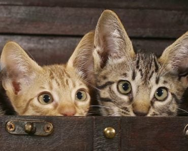 20 Fun Facts You Didn't Know About the Ocicat
