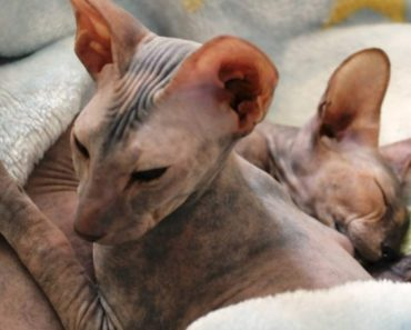 20 Cool Facts about Peterbald Cats