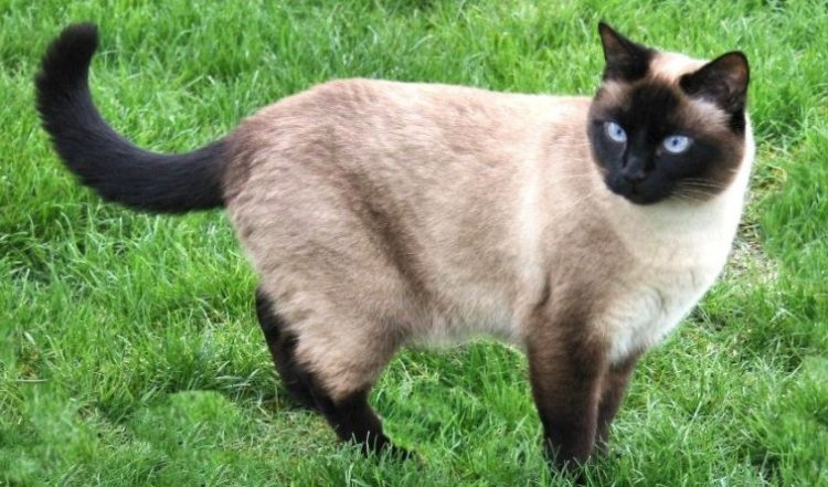 10 Fun Facts You Didn T Know About Seal Point Cats