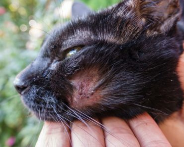 Why Are There Scabs on Your Cat's Back?