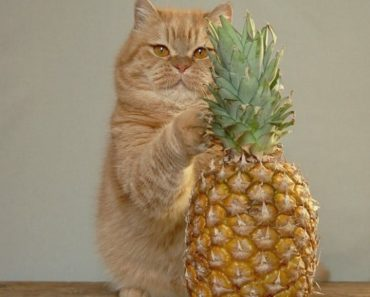 Can Cats Eat Pineapples?