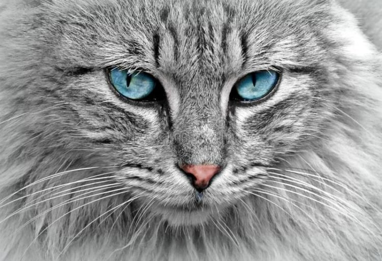 10 Things To Know About Cats With Blue Eyes