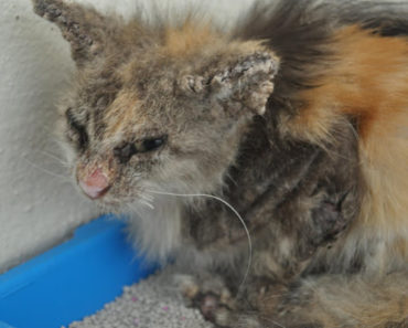 Mange in Cats: Definition, Treatment, Prevention
