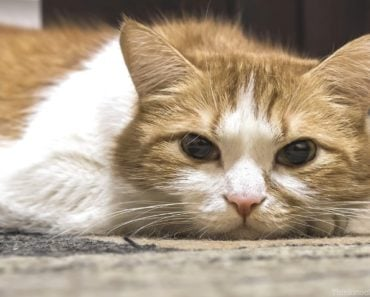 What is Pancreatitis in Cats and How is it Treated?