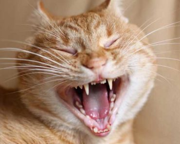 It's Up to Us To Take Care of Our Cat's Teeth