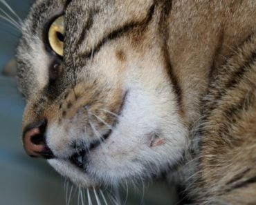 What Might Cause a Lump Under Your Cat's Chin?