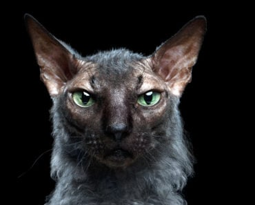 10 Things You Didn't Know About Lykoi Cats
