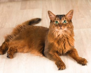10 Things You Didn't Know about the Somali Cat