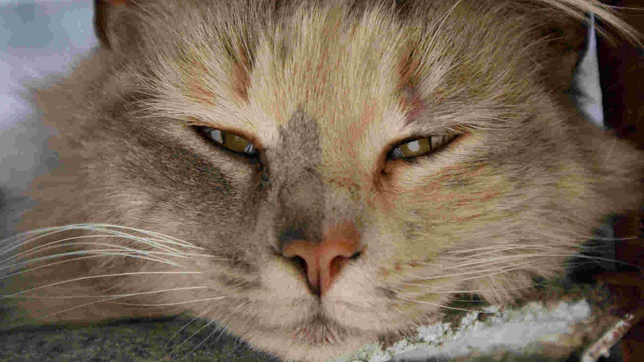Cats Watery Eye Discharge