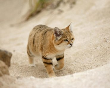10 Things You Didn't Know about the Arabian Sand Cat