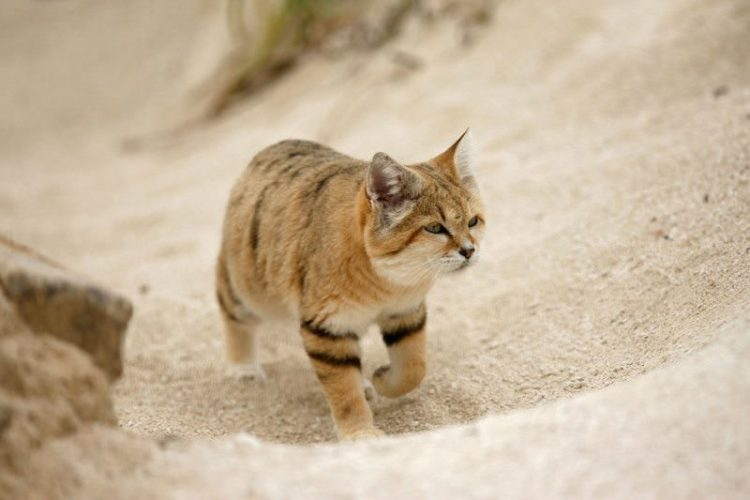 10 Things You Didn T Know About The Arabian Sand Cat