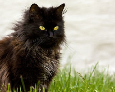 10 Things You Didn't Know about the Chantilly Cat