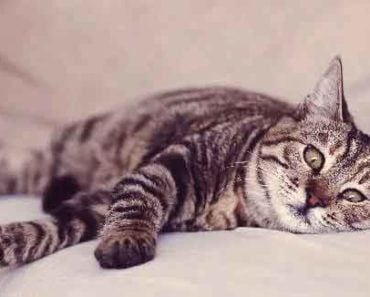 What is Coccidiosis in Cats and How is it Treated?