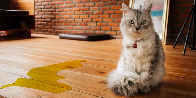 What You Need to Know about Cat Urination