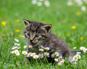 What is Triaditis in Cats and How is It Treated?