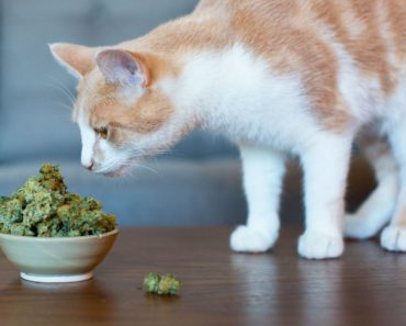 California Vets Considering Discussing Cannabis for Pets