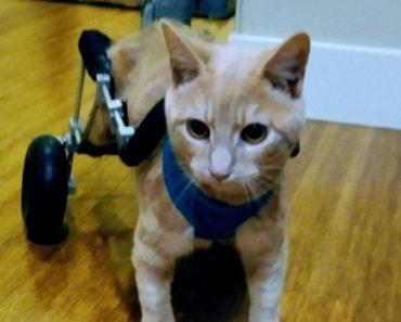 "Cat Dubbed ""Turbo Joe"" Keeps Rolling Along on His Wheelchair"