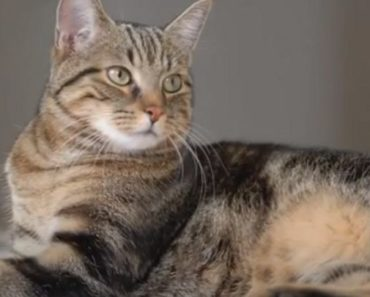 20 Things You Didn't Know about the European Shorthair