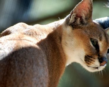 20 Things You Didn't Know About the Desert Lynx