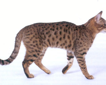 10 Things You Didn't Know About The California Spangled Cat