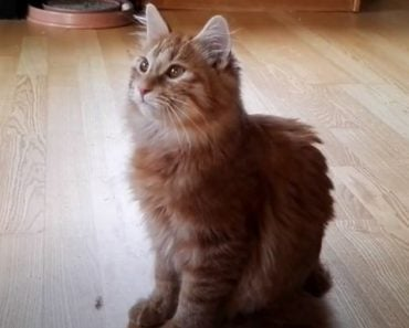 20 Things You Didn't Know about The Kurilian Bobtail