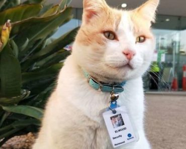 """Hospital """"Hires"""" Cat as Security Guard and Even Gives Him a Staff ID Badge"""