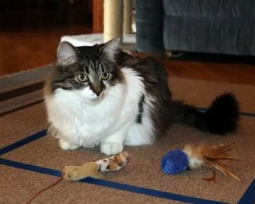 Why Do Cats Sit in Squares Taped to Floors?
