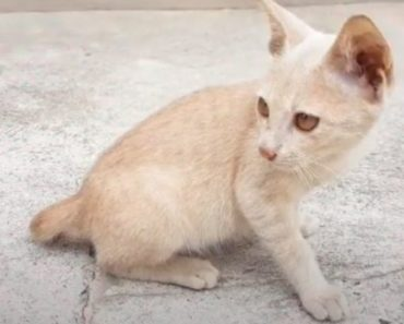 10 Things You Didn't Know about The Thai Lilac Cat Breed