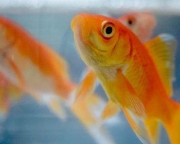 Can Cats Eat Goldfish?