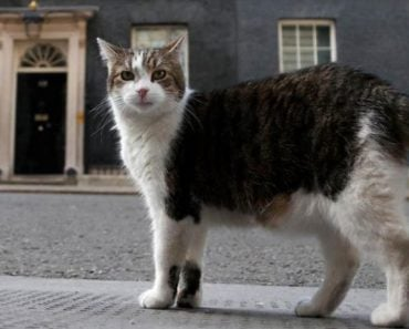 """U.K.'s Chief Mouser """"Larry"""" Celebrates 10 years of Catching"""