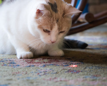 The Logical Reason That Cats Like Laser Pointers