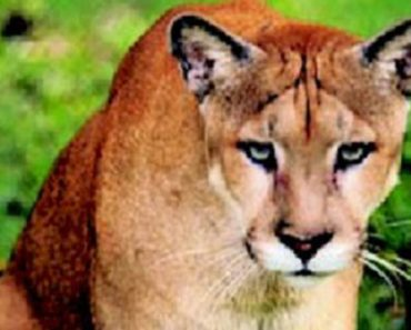 How America's Most Endangered Cat could help Save Florida