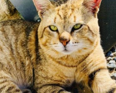 New Animal Care Plan Mandates that Cats Be Microchipped