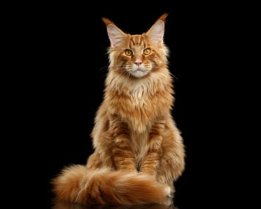 The Five Best Cat Breeds for Kids