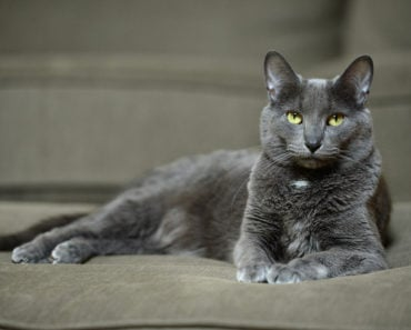The Five Most Interesting Thai Cat Breeds