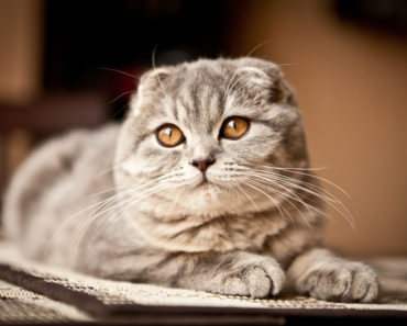 The Five Most Unhealthy Cat Breeds