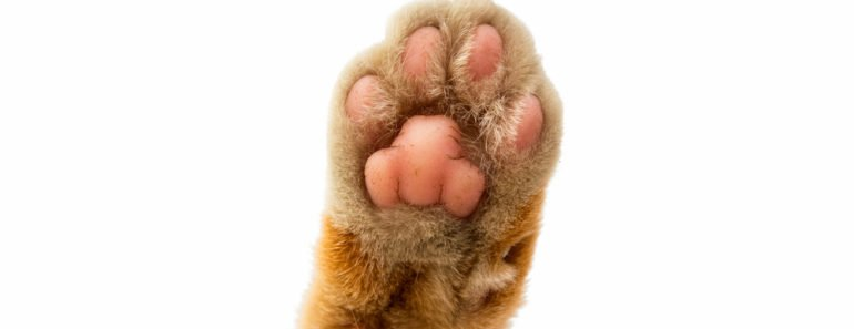 How to Treat a Cat Paw Callus