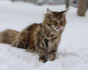 10 Questions You Should Be Asking a Maine Coon Cat Breeder
