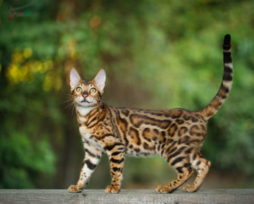 10 Cat Breeds Who Shed the Least